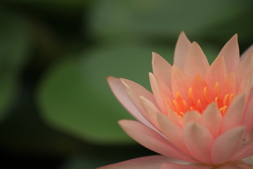 macro photography of the stamens of water lily, pink dawn water lily