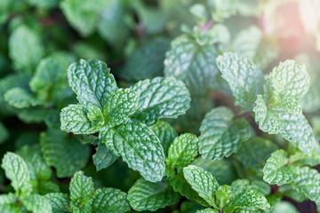 Mint is a green leafy plant. Features fresh breath odor. Make teeth healthy