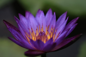 macro photography of the stamens of water lily, tropical water lily