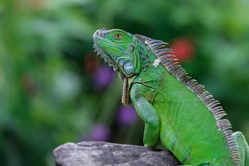 green iguana sitting on a stone