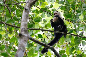 white headed capuchin monkey eating berries