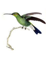 Illustration of a Hummingbird.
