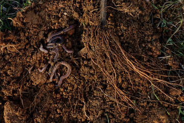 Roots of tree and worms on soil.