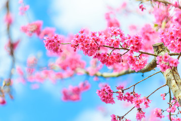 Pink Cherry blossom , Sakura flower blooming in blue sky
