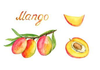 Branches with ripe mango fruits and leaves, cut slice and half with stone, hand painted watercolor illustration with inscription isolated on white background