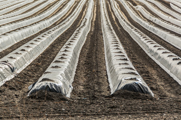 A field of asparagus in spring covered with foil for better growth. Concept: Agriculture