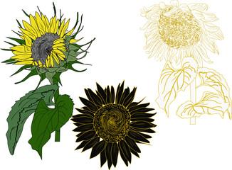 three isolated sunflowers illustration