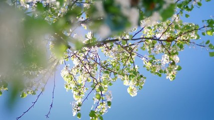 Wall Mural - Flowering white bloom flowers, focus pull to blossoming tree branches over blue sky background, spring. 4K UHD.