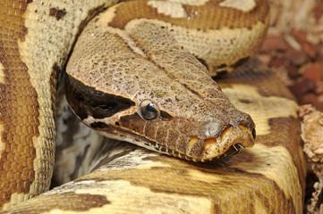 Blutpython (Python brongersmai) - blood python