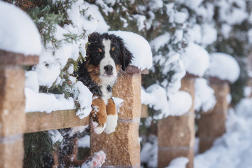 Bernese mountain puppy in the yard in winter