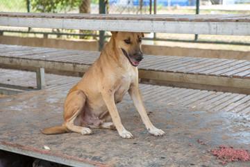 Thai dog  in the garden
