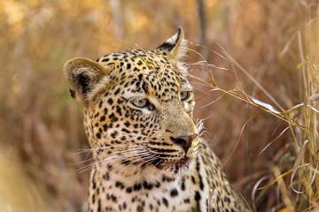 Close up of an African Leopard hiding in long grass
