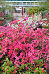 Bougainvillea pink bush flowers