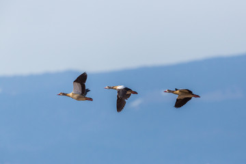 three egyptian nile goose birds (alopochen aegyptiaca) in flight