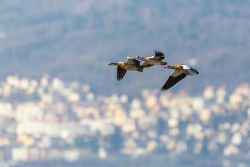 three egyptian nile goose birds (alopochen aegyptiaca) flying, village