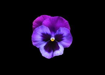 Canvas Prints Pansies Anuta eyes on a black background . Violet flower .