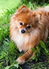 dog breed pomeranian  spitz on green grass listens to something