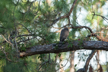 A regal looking Cooper's Hawk with prey on large pine tree limb