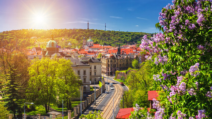 The blooming bush of lilac against historical Old Town of Prague, Czech Republic