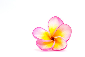 Isolated image of plumeria flowers with white, pink and yellow colours in white background