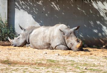 Two Rhinoceros (Rhinocerotidae)  are rest in the sun after eating in Safari park Ramat Gan, Israel