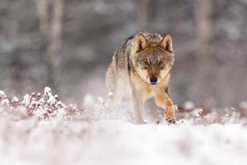 Foto auf Leinwand Wolf Wolf