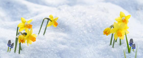 Osterglocken im Schnee -- Hintergrund  -- Banner -- Panorama
