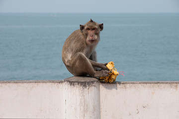monkey eating a banana with sea view background