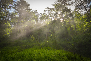 Misty light rays shine through lush trees in Oregon