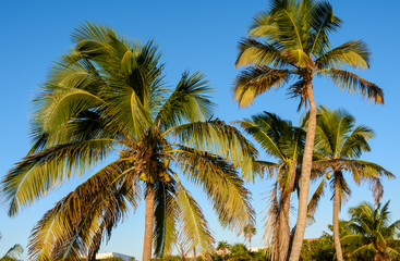 Coconut palm trees; beautiful tropical background