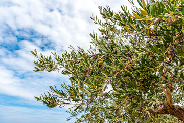 Olivenzweige (Olea europaea)