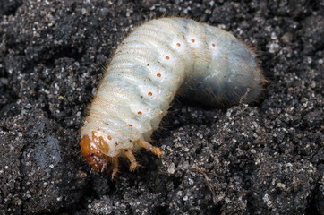 Larva of the May beetle. White chafer grub against the background of the soil.