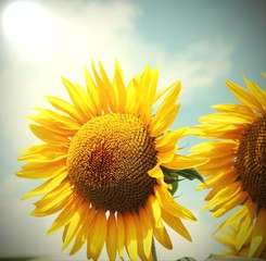 sunflower with yellow petals and blue sky