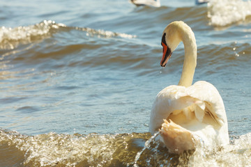 Close up of white swan.