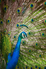 Peacock Feathers Spread Out