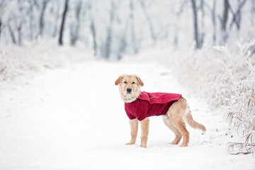 Young dog in a red sweater on a snowy trail