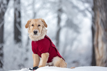 Dog sitting in the winter while wearing a red coat