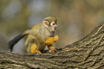 Wall Mural - Common Squirrel Monkey - Saimiri sciureus, beautiful primate from South American forest.