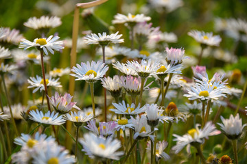 Bunte Blumenwiese im Frühling und Sonnenstrahlen, Abendsonne, Bellis perennis
