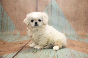 Pekingese with blue and tan patterned wood background