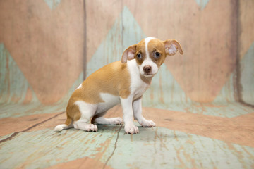 Chihuahua with blue and tan patterned wood background