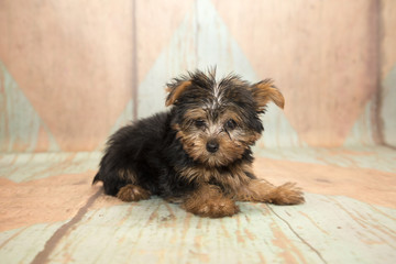 Yorkshire Terrier with blue and tan patterned wood background
