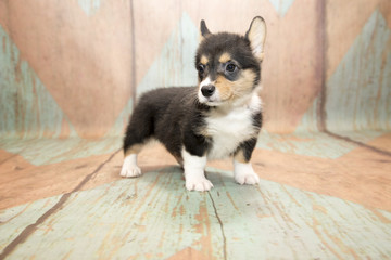 Corgi with blue and tan patterned wood background