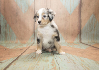 Miniature Australian Shepherd with blue and tan patterned wood background