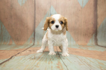 Cavalier King Charles Spaniel with blue and tan patterned wood background