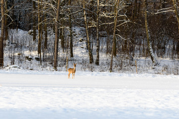 European roe deer (Capreolus capreolus) on a snow covered field with forest behind.