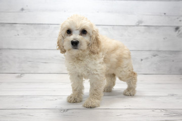 Mini Goldendoodle with white wood background