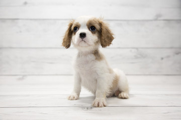 Cavalier King Charles Spaniel with white wood background