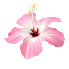 Realistic light pink hibiscus. The symbol of rare elegant beauty.