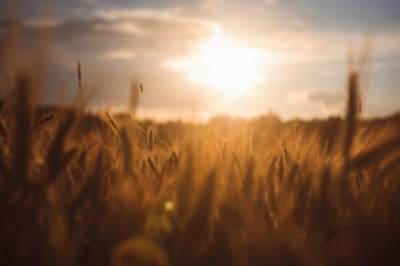 Rye spikes wheat on the field sunset agriculture Russian summer Ukrainian beautiful bread rye detailed